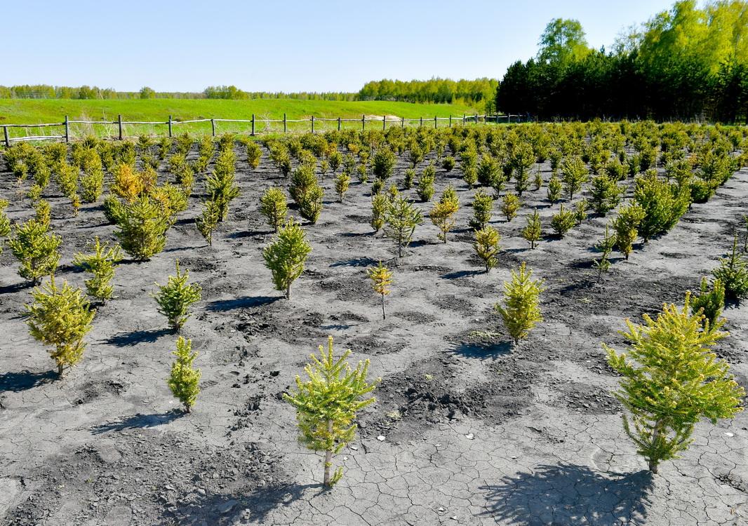 В северном Казахстане выращивают саженцы деревьев