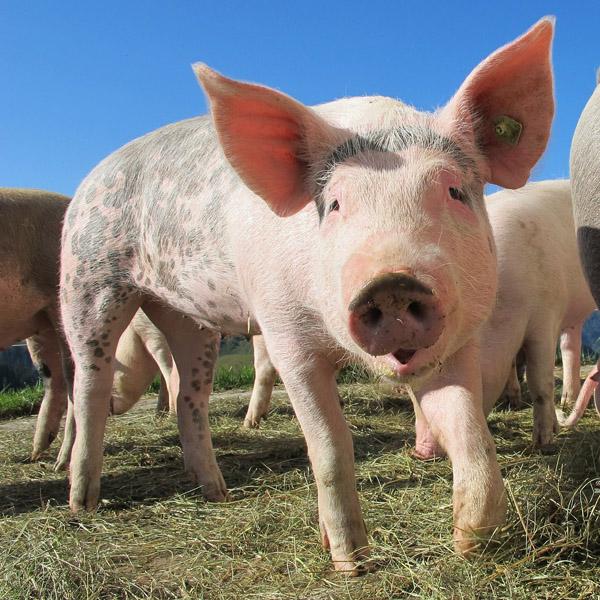 На севере Казахстана сокращается поголовье скота на личных подворьях