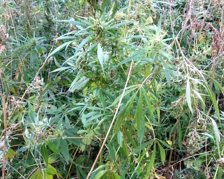 Марихуана где произрастает как собирать марихуану коноплю
