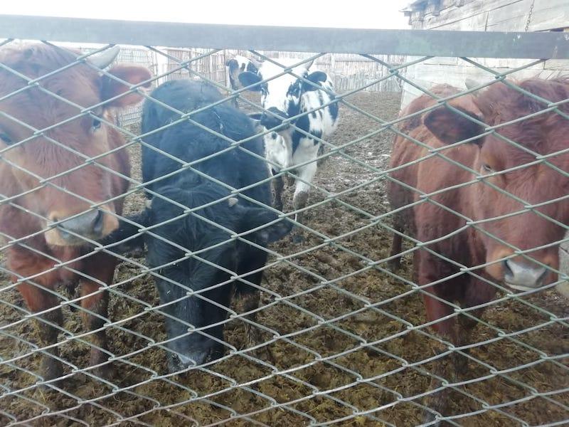 Почему буксует животноводство на севере Казахстана