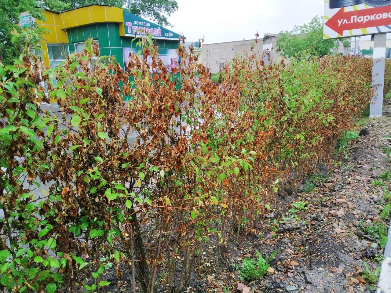 Провалы в озеленении Петропавловска