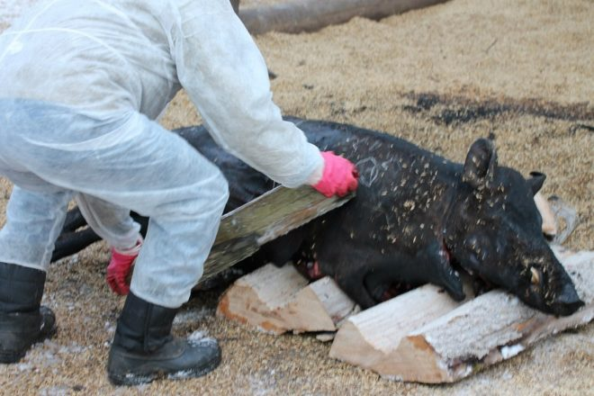 Африканская чума свиней: Северо-Казахстанская область окружена вирусом