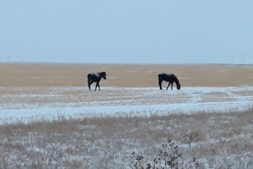 Пастух спас чужих лошадей на севере Казахстана