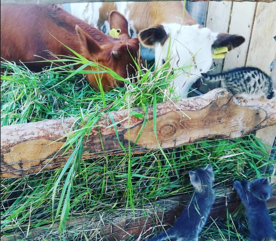Легенда о двух коровах: могут ли они прокормить семью на севере Казахстана