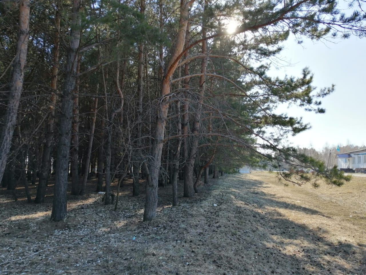 В самом северном городе Казахстана собираются сделать парк в сосновом бору