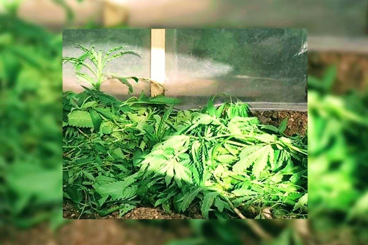 В Петропавловске 29-летнего мужчину задержали с килограммовым кустом марихуаны